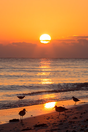 Willets in the Sunset