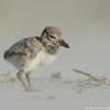 Chick at sandstorm