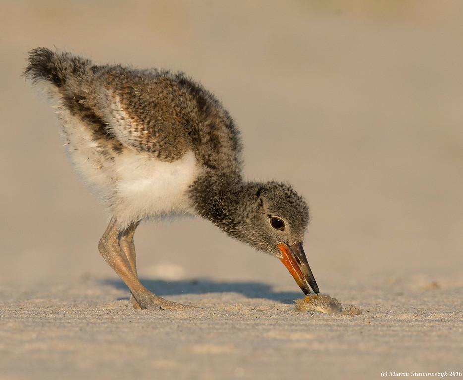 Pecking