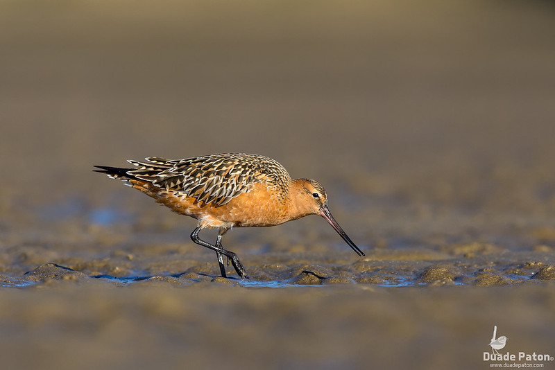 Bar-tailed Godwit (Breeding)