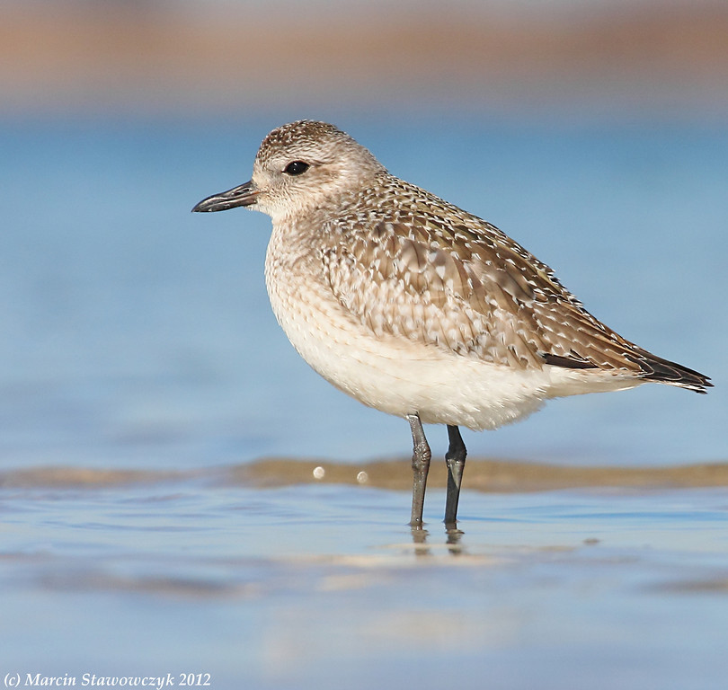 Gray plover in water