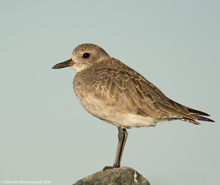 Profile of the plover