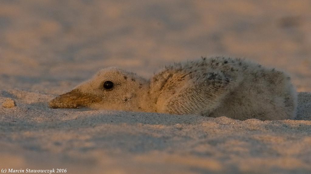 Baby skimmer at rest