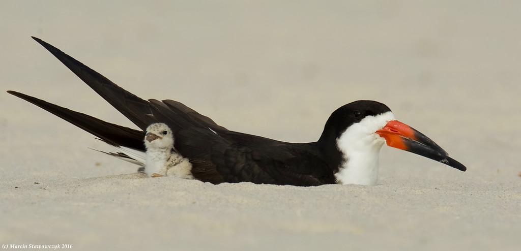 Dad plus chick