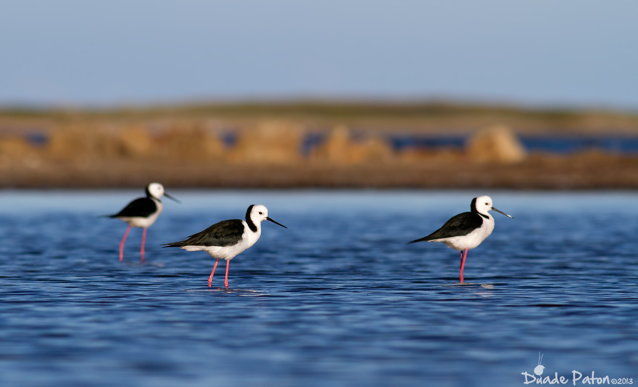 Black-winged Stilt