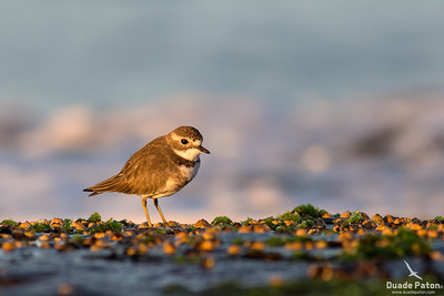 Double-banded Plover - Non Breeding