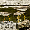 Comparison Shot<br /> Greater & Lesser Yellowlegs<br /> and Stilt Sandpiper<br /> Cohoes Flats - 8-19-13