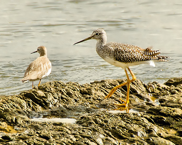 Greater and Lesser :Yellowlegs, Cohoes, NY 10-8-13
