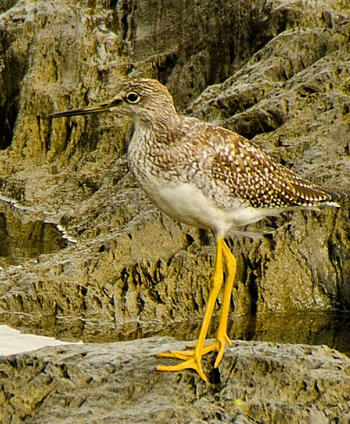 Greater Yellowlegs, Cohoes, NY 10-8-13