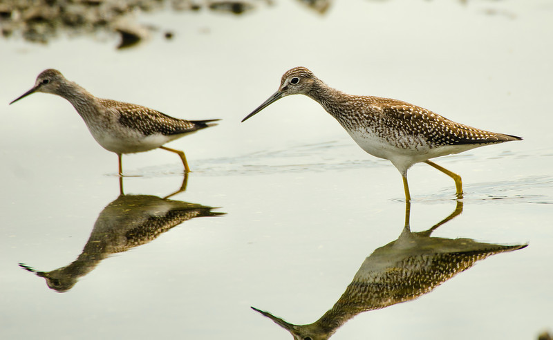 Comparison Shot<br /> Greater & Lesser Yellowlegs<br /> Cohoes Flats - 8-19-13