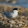Least tern profile