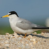 The least tern