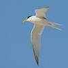 Least tern flying