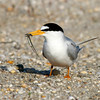 Least tern and fish
