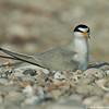 Tern looking around