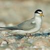 Posing least tern