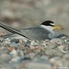 Resting least tern
