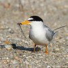 Least tern and a fish