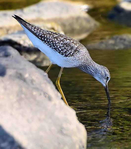 Lesser Yellowlegs, Cohoes Flats, 8-10-13
