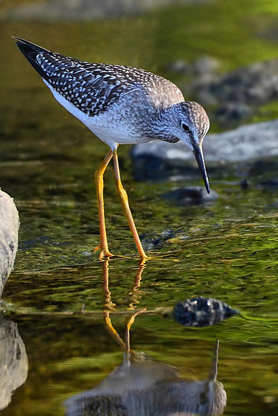 Lesser Yellowlegs, Cohoes Flats, 8-10-12