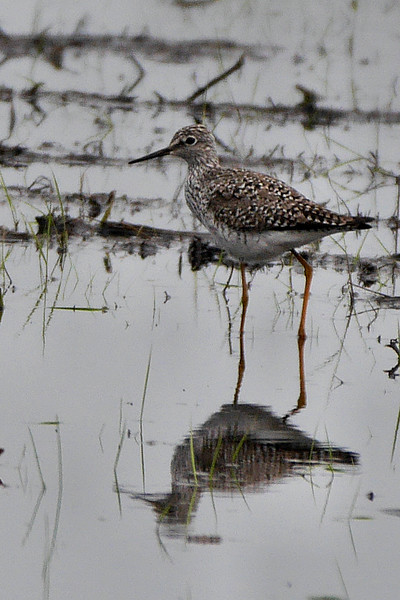 Lesser Yellowlegs (Wrights Loop, Stillwater, NY) 4-27-16