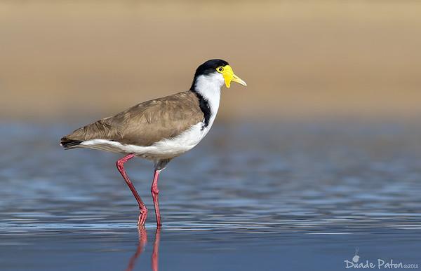 (Vanellus miles ) - Lake Conjola, NSW - Sep 13