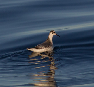 Red Phalarope  San Diego waters  2012 12 07 (1 of 2).CR2