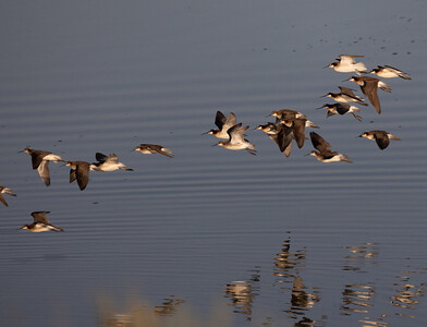Wolson Phalarope  Warm Lake near Crowley Lake 2021 06 21-3.CR3