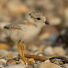 Baby plover