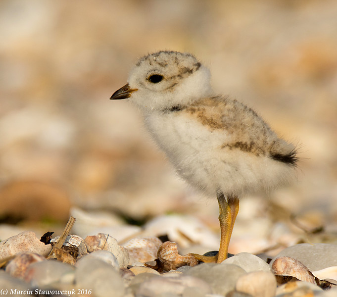 One little plover