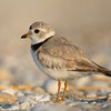 Plover from the side