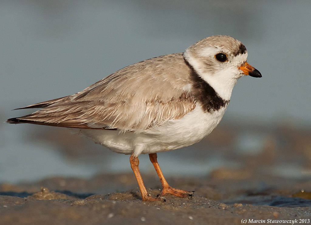 A piping plover