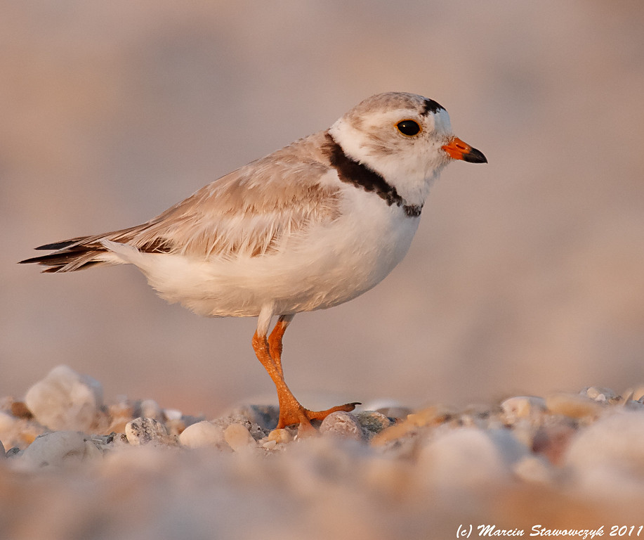 Plover in purple