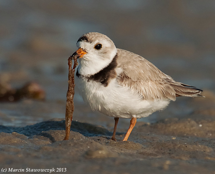 Plover with a worm