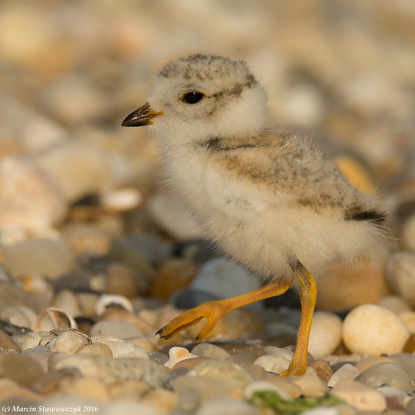 Marching plover