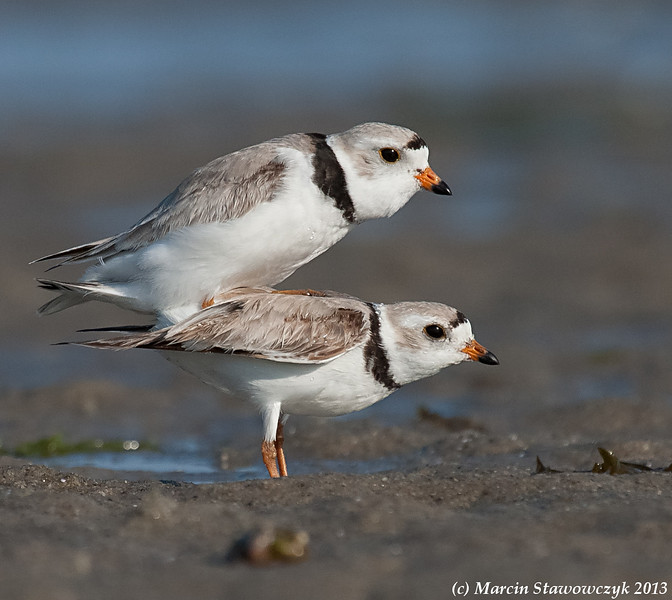 Mating plovers