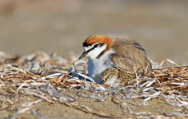 Red-capped Plover and Chick