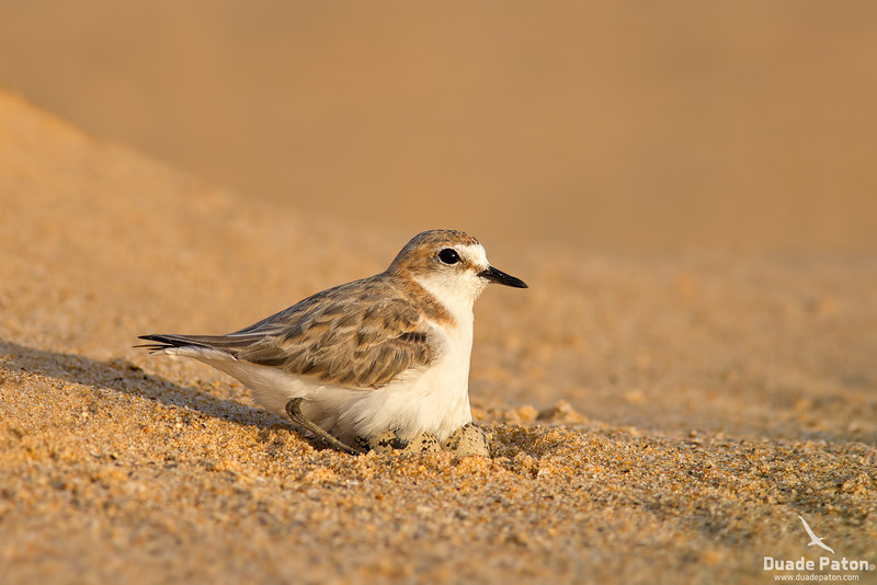 Red-capped Plover -Female on eggs