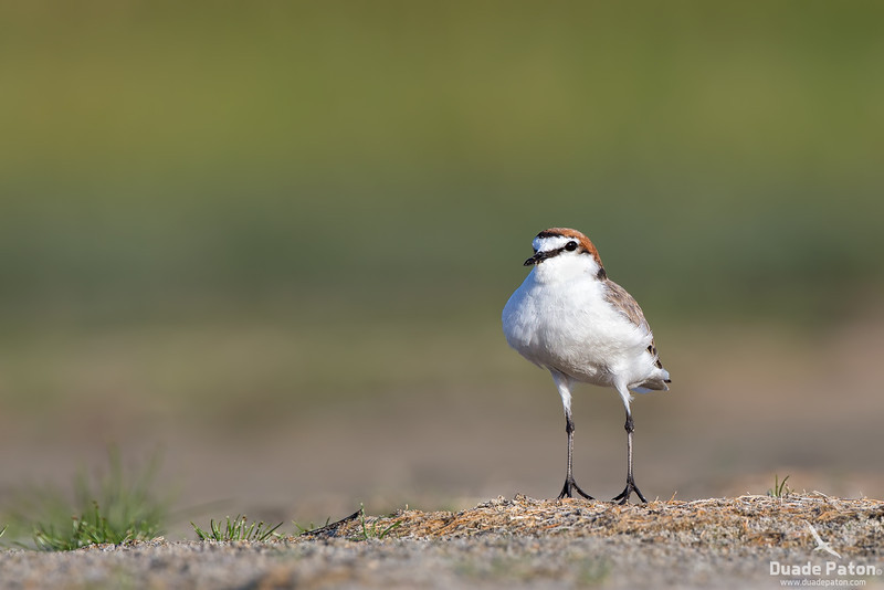 Red-capped Plover (Male)