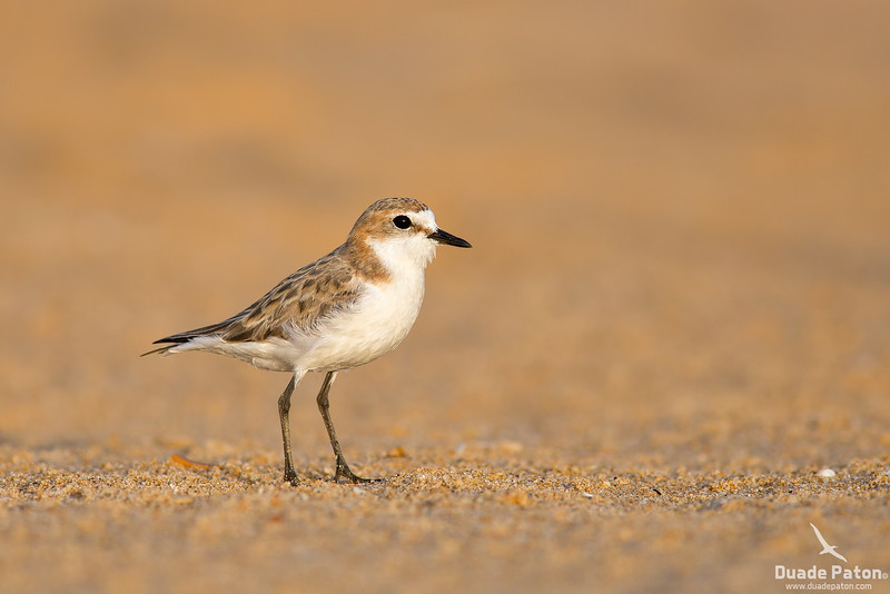 Red-capped Plover -Female