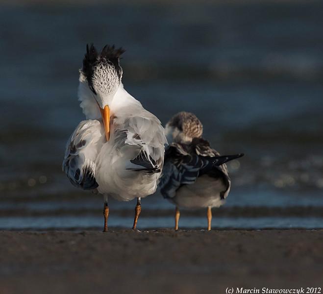 Preenig royal tern