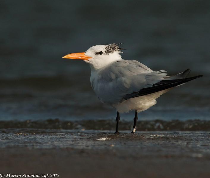 Young royal tern