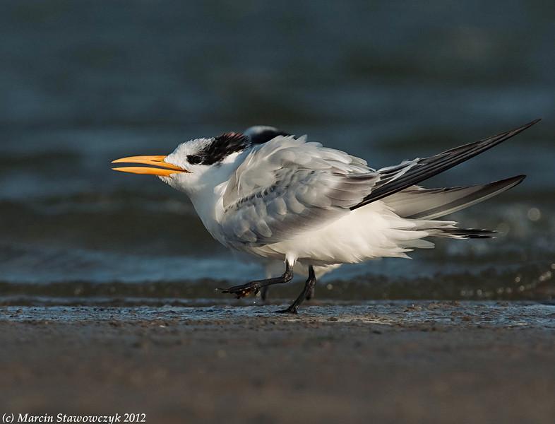 A young royal tern