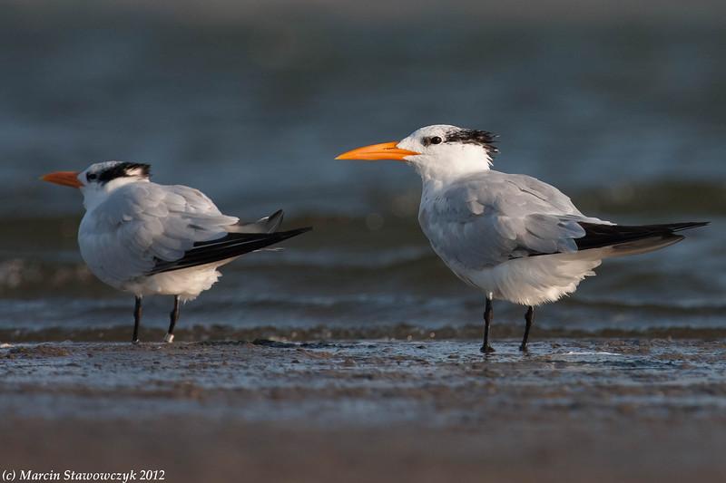 Royal terns at low tide