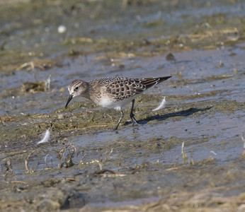 Baird`s Sandpiper  Crowely Lake 2020 09 04-1.CR2-6.CR2