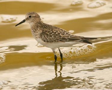 Baird's Sandpiper Owens Lake 2015 09 13-1.JPG