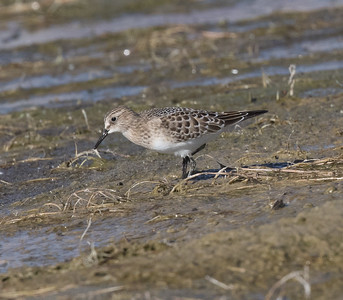 Baird`s Sandpiper  Crowely Lake 2020 09 04-1.CR2-5.CR2