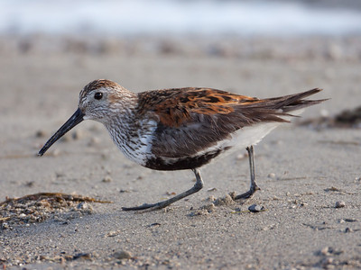 Dunlin  Crowley Lake 2010 06 04-4.CR2