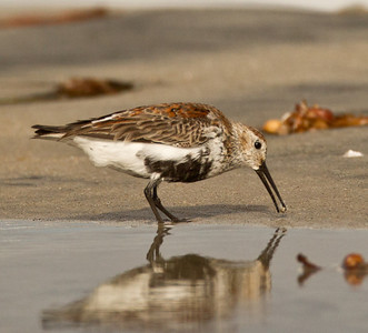 Dunlin  Cardiff Beach 2013 04 08 (2 of 3).CR2