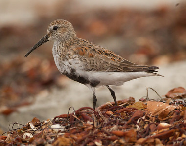 Dunlin Cardiff Beach 2014 04 15-4.CR2